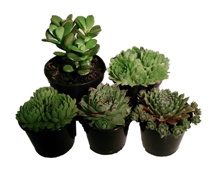 wholesale Succulents summerhill Nurseries
