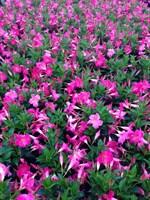 wholesale flowering dipladenia Summerhill